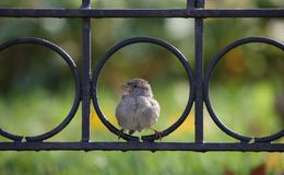 Sparrow in fence Royalty Free Stock Photography