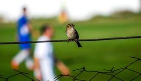 Sparrow on a fence of a  small soccer stadium Stock Photos