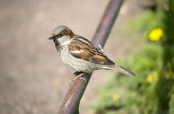 Sparrow on a fencing Royalty Free Stock Image