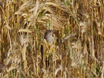 Sparrow in field wheat Royalty Free Stock Photography