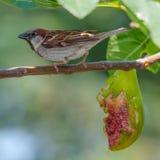 Sparrow and fig. A house sparrow feeding on fig fruit Royalty Free Stock Photos