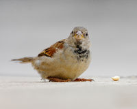 Sparrow finds nut on sidewalk (close-up). Stock Photography
