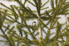 Sparrow on a fir Stock Photography