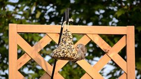 Sparrow in flight on a hanging feeder Stock Photos