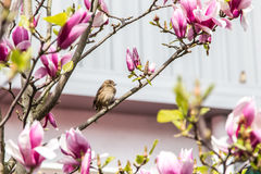 Sparrow flower tree Royalty Free Stock Images
