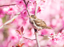 Sparrow in flowering peach tree. Sparrow sitting between the blossoms of a pink flowering peach tree royalty free stock photo