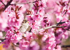 Sparrow in flowering peach tree Royalty Free Stock Image