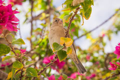 Sparrow and flowering shrubs of bougainvillea Royalty Free Stock Photos