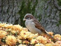 Sparrow in the flowers. This is a sparrow perched on top of a bush of  yellow fall flowers. He is brown white and grey, facing sideways. He looks a little mean Stock Photo