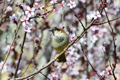 Sparrow in flowers Royalty Free Stock Image