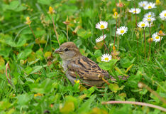 Sparrow among the flowers Royalty Free Stock Photography
