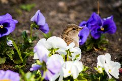 Sparrow among flowers royalty free stock photos