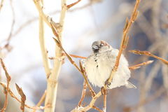 Sparrow fluff one`s feathers sitting on a branch of a poplar Stock Photo