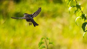 Sparrow flying of a tree branch stock photo