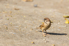 Sparrow with food in mouth standing on the ground Stock Photos