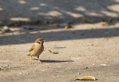 Sparrow with food in mouth standing on the ground Royalty Free Stock Photos