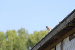 Sparrow with a forage in a beak sitting on the roof Stock Photos