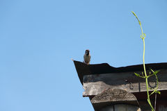 Sparrow with a forage in a beak sitting on the roof Royalty Free Stock Photography