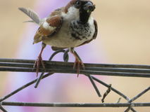 The sparrow Royalty Free Stock Photography