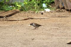 Sparrow. Stock Photography
