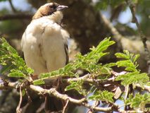 Kenyan beige sparrow. The sparrow is found mainly in sub urban regions Stock Image