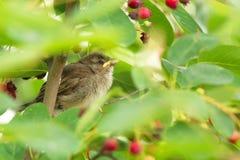 sparrow för domesticushusförbipasserande Arkivfoto