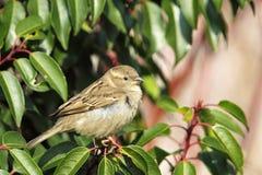 sparrow för domesticushusförbipasserande Arkivbild