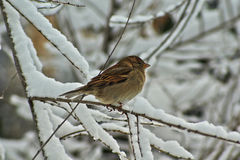 Sparrow on the frosted branches. stock photo