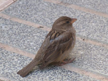 sparrow głodny obraz stock