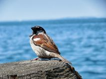 Sparrow in Garda. Beautiful sparrow sitting on the Garda lake, june 2016, best place to holiday Royalty Free Stock Photos