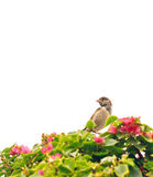 Sparrow in a garden of bougainvillea. Summer background Royalty Free Stock Images