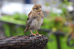 Sparrow in garden Stock Image