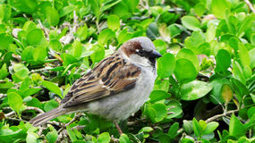 Sparrow in the Garden. A sparrow seen in a garden around Paris, France Stock Photos