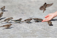 Sparrow. Good man helps and feeds the tiny one by one in sequence sparrows, environmental protection Stock Images