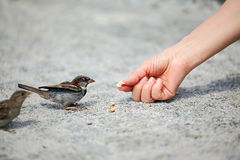 Sparrow. Good nobody man helps and feeds the tiny sparrow, environmental protection Royalty Free Stock Photos