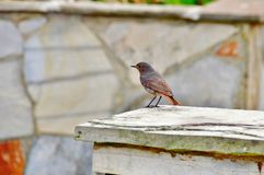 The Sparrow Royalty Free Stock Images