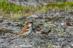 Sparrow with grain in a beak on a stone Stock Image