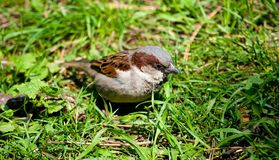 Sparrow in the grass Stock Images