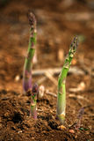Sparrow grass Stock Photography