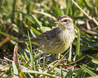 Sparrow in the Grass Royalty Free Stock Image