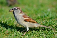 Sparrow on Grass Royalty Free Stock Photography