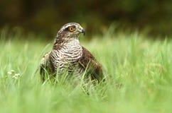 Sparrow in grass Stock Photos