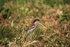 Sparrow in the grass Royalty Free Stock Photo