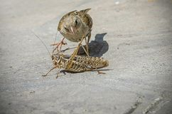 Sparrow and the grasshopper. Fight Royalty Free Stock Images