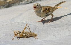 Sparrow and the grasshopper. Fight Stock Image