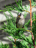 Sparrow. Gray sparrow peached on green cedar branch Stock Photo