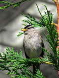 Sparrow. Gray sparrow perched on a green cedar branch Royalty Free Stock Photos