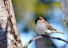 Sparrow gray. Gray sparrow sits on branch tree in garden Royalty Free Stock Photo
