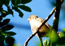 Sparrow gray. Gray sparrow sits on branch tree in garden Stock Photos