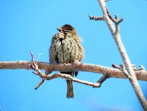Sparrow gray. Gray sparrow sits on branch tree in garden Stock Images
